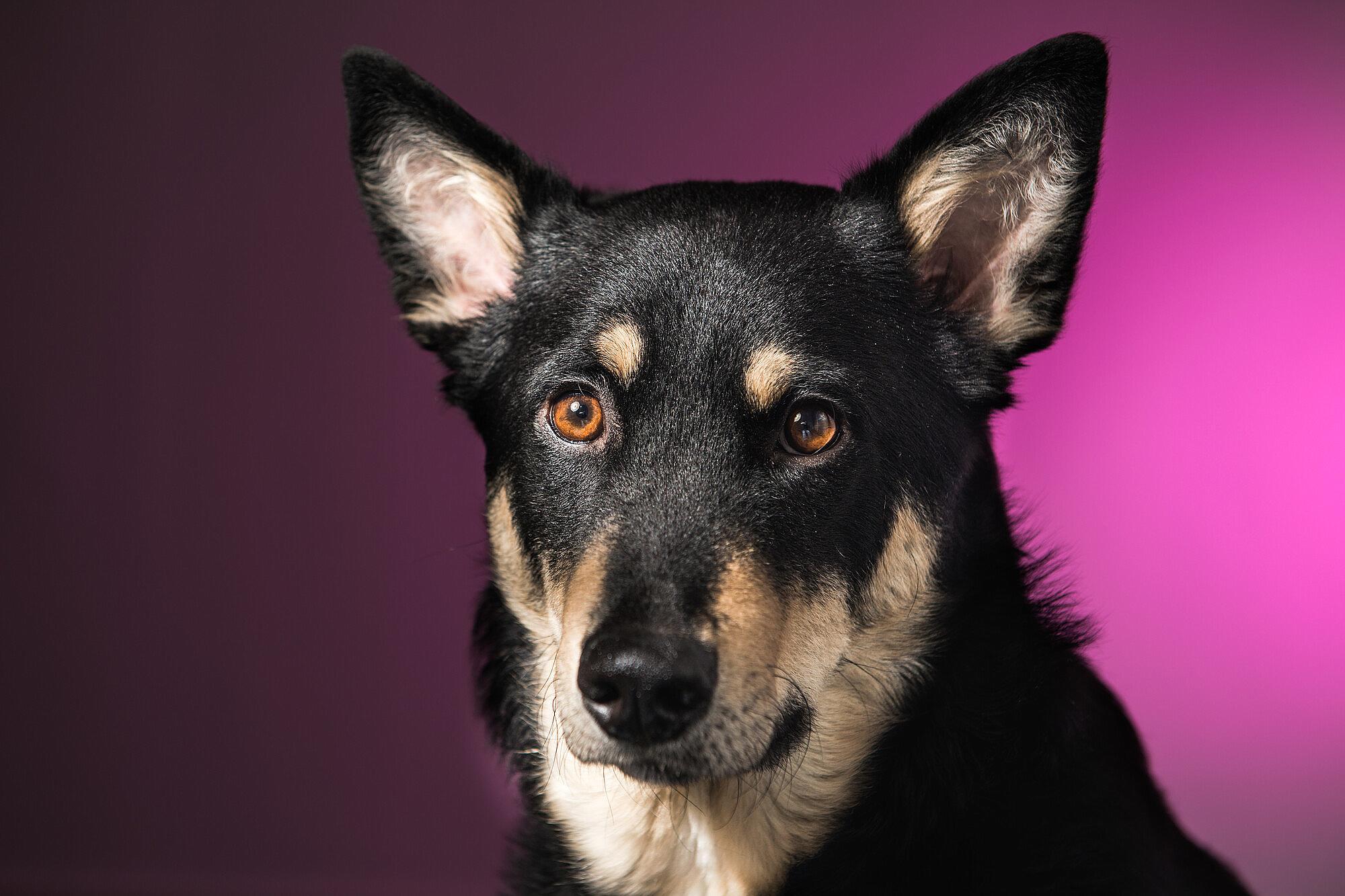 Bild på hund mot rosa bakgrund
