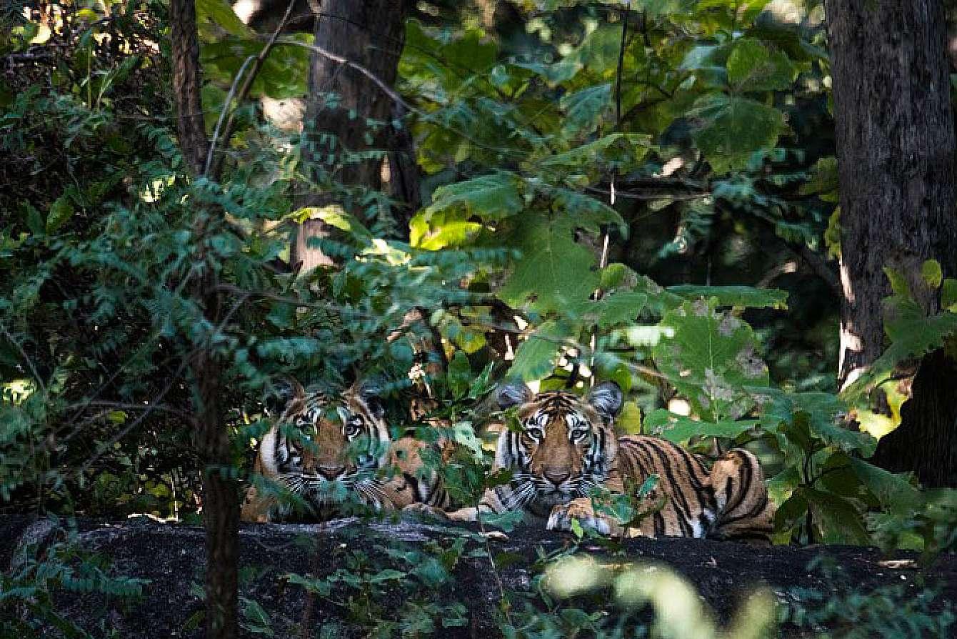 Två tigrar i Indien
