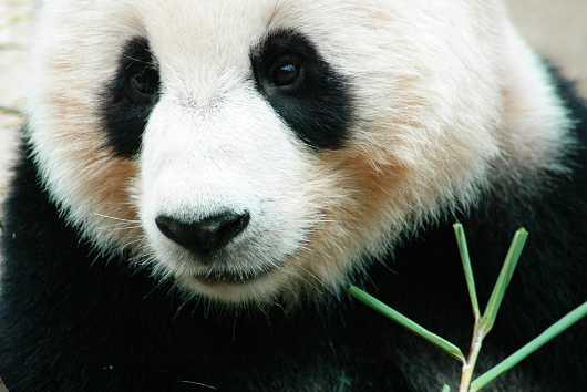 En närbild på en panda